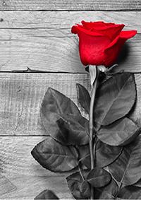 つがいの薔薇