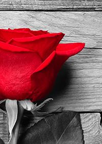 赤薔薇の君へ